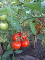 Solanum lycopersicum 'Cronos', tomaat 'Cronos'.jpg