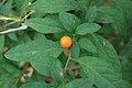 Solanum pseudocapsicum in Wuyishan Chengcun 2012.08.24 08-35-56.jpg