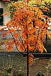 Sorbus Herbstlaub 11.jpg