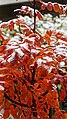 Sorbus Herbstlaub 17.jpg