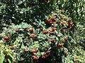 Sorbus aucuparia fruit 1.JPG