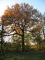 Sorbus domestica 000 051 960 O.jpg