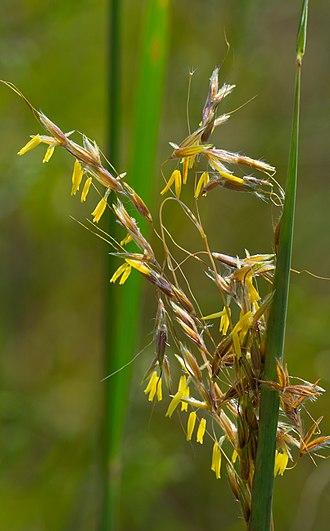 Sorghastrum nutans - Image: Sorghastrum nutans flowers closeup
