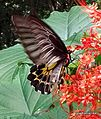 Southern-Birdwing butterfly on krishna kireedam 1-1-Picture 033.jpg