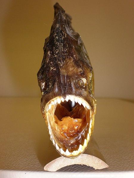 File:Souvenir piranha front.JPG