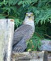 Sparrowhawk catches Blackbird - Flickr - gailhampshire (1).jpg