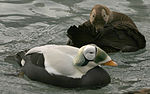 Spectacled Eider pair.jpg