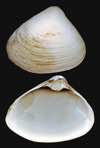 Atlantic surf clam - A 15 cm adult shell of Spisula solidissima from Long Beach, Long Island, New York State. Right valve at the top, left valve at the bottom.