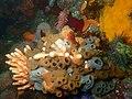 Sponges and cnidarians at Rachel's Reef P2110211.jpg