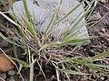 Sporobolus cryptandrus (3797543800).jpg