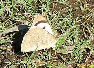 <i>Appias lalage</i> Small butterfly of the family Pieridae