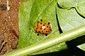 Spotted Tortoise Beetle (Aspidimorpha miliaris)4431.jpg