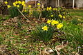 Spring-daffodils-house-porch - West Virginia - ForestWander.jpg