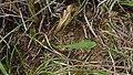 Spur Velleia basal leaf (6498674119).jpg