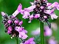 Stachys officinalis ENBLA02.jpg