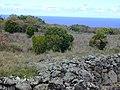 Starr-010726-0096-Murraya paniculata-naturalized in pasture-Kaupo-Maui (24532899085).jpg
