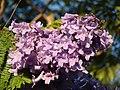Starr-070519-7135-Jacaranda mimosifolia-flowers-Makawao-Maui (24795948641).jpg