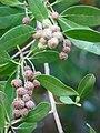 Starr-070727-7618-Conocarpus erectus-leaves and fruit-Ala Moana Beach Park-Oahu (24863789136).jpg