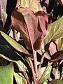 Starr-080103-1207-Cordyline fruticosa-leaves-Lowes Garden Center Kahului-Maui (24781290232).jpg