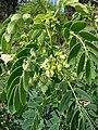 Starr-090601-8683-Senna gaudichaudii-flowers and leaves-Ulupalakua greenhouse-Maui (24334041813).jpg