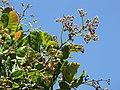 Starr-090618-1282-Anacardium occidentale-flowers and leaves-Haiku-Maui (24966134315).jpg