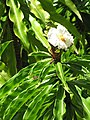 Starr-090702-2053-Costus speciosus-flowers and leaves-Puaa Kaa Park Hana Hwy-Maui (24968394535).jpg