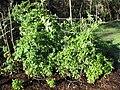 Starr-090801-3483-Solanum lycopersicum-habit in garden in circle cages-Olinda-Maui (24675352830).jpg