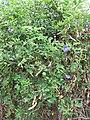 Starr-090806-3832-Clitoria ternatea-habit-Wailuku-Maui (24945070156).jpg