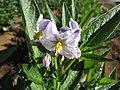 Starr-091023-8518-Solanum muricatum-flowers-Kula Experiment Station-Maui (24691275130).jpg