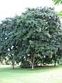 Starr-091104-0665-Adenanthera pavonina-habit-Kahanu Gardens NTBG Kaeleku Hana-Maui (24356827514).jpg
