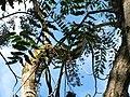 Starr-091104-0857-Cedrela serrata-fruit and leaves-Kahanu Gardens NTBG Kaeleku Hana-Maui (24360862953).jpg