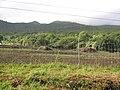 Starr-091104-8751-Cenchrus purpureus-habit cleared land-Kaeleku Hana-Maui (24961685766).jpg