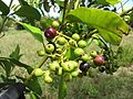 Starr-100826-8677-Pimenta dioica-leaves and fruit-Haiku-Maui (24417536234).jpg