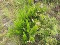 Starr-110705-6556-Erica lusitanica-flowering habit-Waiale Gulch-Maui (24979744012).jpg