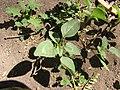 Starr-120406-4341-Amaranthus spinosus-seedling-Kawela Bridge-Molokai (25112473316).jpg