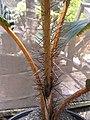 Starr-120522-6614-Phoenicophorium borsigianum-spiny stem-Iao Tropical Gardens of Maui-Maui (25143631765).jpg