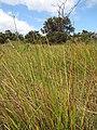 Starr-130703-5556-Cyperus laevigatus-habit-Kealia Pond-Maui (25126120701).jpg
