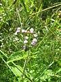 Starr-140909-4885-Ageratum conyzoides-flowers-Wailua-Maui (25219738766).jpg