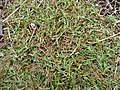 Starr-150327-0384-Setaria verticillata-habit-Near Community Garden Sand Island-Midway Atoll (25241796096).jpg