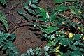 Starr-990107-3305-Rubus niveus-form b leaves and thorns-Polipoli-Maui (24157540169).jpg