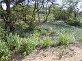 Starr 020116-0017 Chenopodium oahuense.jpg