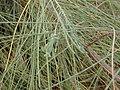 Starr 020124-0056 Casuarina equisetifolia.jpg