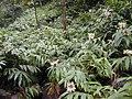 Starr 020813-0008 Hedychium flavescens.jpg