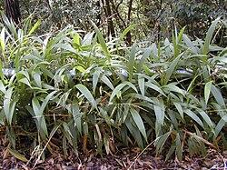 Starr 030405-0024 Setaria palmifolia.jpg
