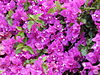 Starr 030418-0058 Bougainvillea spectabilis