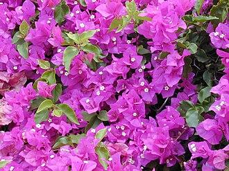 Kukkarahalli Lake - Bougainvillea flowers