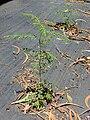 Starr 030418-0124 Phyllanthus tenellus.jpg