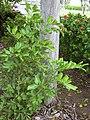 Starr 031204-0009 Cupaniopsis anacardioides.jpg