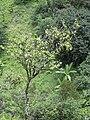 Starr 040713-0055 Antidesma platyphyllum.jpg
