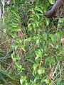 Starr 041113-0732 Smilax melastomifolia.jpg